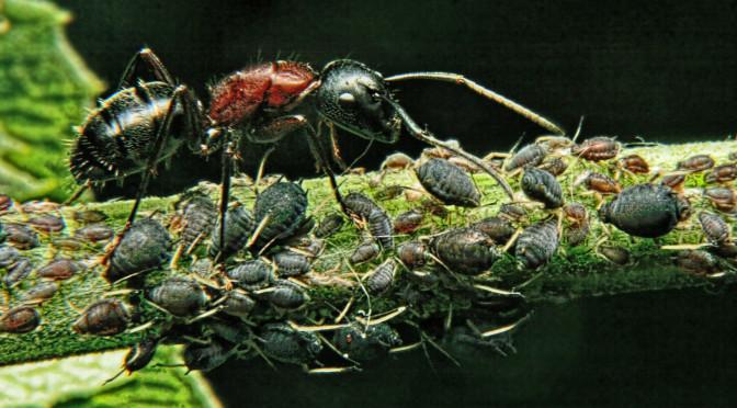 Mravenci chovatelé